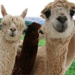Snake Creek Alpaca Farm